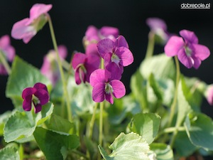 Fjärilsviol 'Rubra'