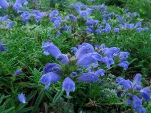 Drakblomma 'Fuji Blue'