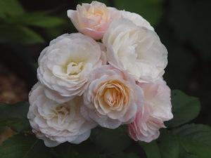 Myskroshybrid 'Bouquet Parfait'