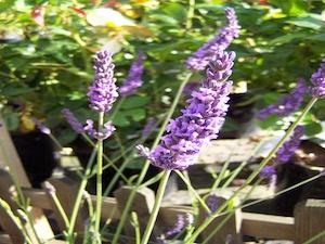 Stor lavendel 'Grappenhall'