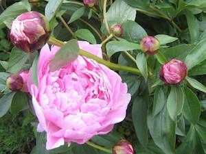 Luktpion, rosa 'Sarah Bernhardt'