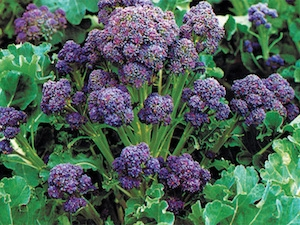 Bukettbroccoli 'Purple Sprouting'