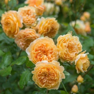 Buskros 'Crown Princess Margareta'