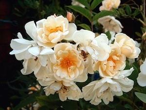 Honungsros 'Hybrida'